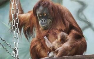Самка орангутана попалась на измене в зоопарке