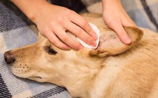 Почему собака часто чешет уши