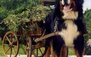 Содержание бернской овчарки: характер, советы по уходу за щенком, фото