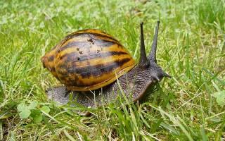 Большая улитка ахатина: описание и разновидности с фото, содержание и уход в домашних условиях, размножение