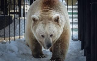 В красноярском зоопарке проснулся белокоготный медведь Памир