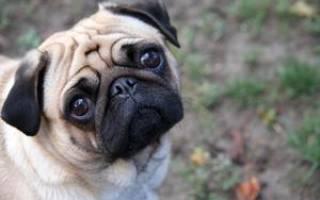 Прикольные мини-собаки: смешные мопсики на удивительных фото