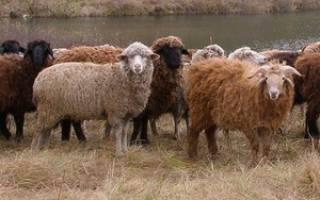 Особенности разведения овец для начинающих: подготовка, уход в домашних условиях, советы