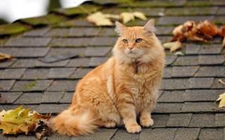 Приметы про рыжих котов