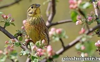 Овсянка обыкновенная: описание внешнего вида и фото птицы, среда обитания и питание, особенности размножения