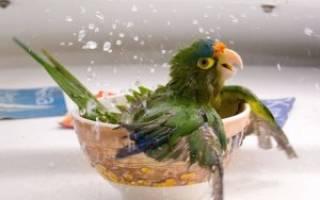 Попугай жако — как выбрать, уход и содержание, как купать, отзывы владельцев