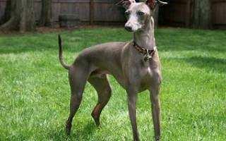 Содержание левретки: описание борзой, особенности ухода, фото собаки