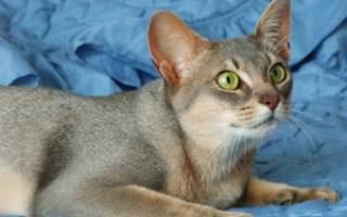 Абиссинские коты: внешний вид, характер, правила ухода и цены на самые дорогие в мире породы абиссинских кошек