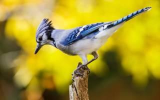 Особенности жизни, как выглядит и где обитает птица сойка, описание и фото