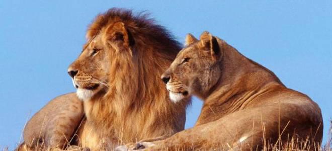 Почему лев — царь зверей
