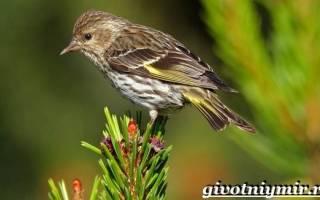 Описание условий существования и размножения чижей, особенности питания птиц