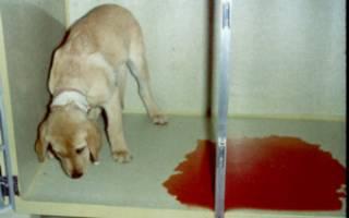 Что делать, если у собаки понос с кровью; причины, методы диагностики и первой помощи