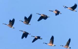 Куда улетают на зиму перелётные птицы? Популярные места, куда летят пернатые до весны