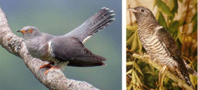 Чем питается кукушка: внешний вид и распространение птицы, корм для неё