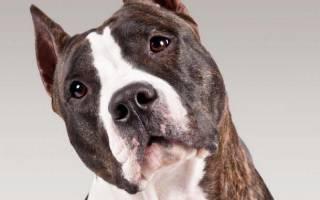 Содержание стафоршиского терьера: описание породы, уход, фото собак