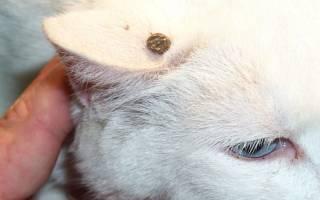Кота укусил клещ: симптомы, что делать, возможные последствия, рекомендации