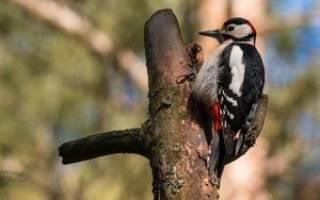 Необычные птицы большие пестрые дятлы — ареал их распространения, внешний вид, особенности поведения