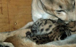 В зоопарке Пензы пума родила сразу пять котят