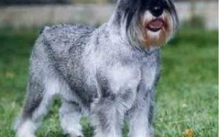 Собака породы цвергшнауцер: стандарт, описание внешнего вида и характера, отзывы владельцев собак