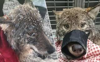 Эстонцы приняли дикого волка за собаку и спасли его