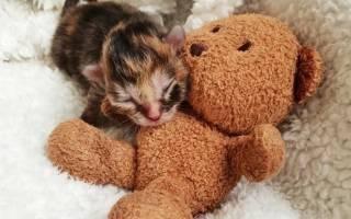 В Австралии люди выходили недоношенного котёнка, размером меньше ладони