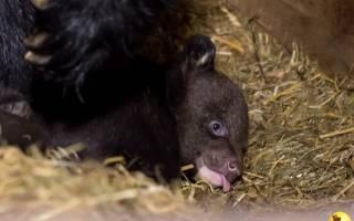 В Барнаульском зоопарке родилась пара гималайских медвежат