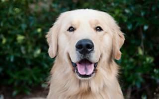 Порода собак голден ретривер: описание и характеристика, фото